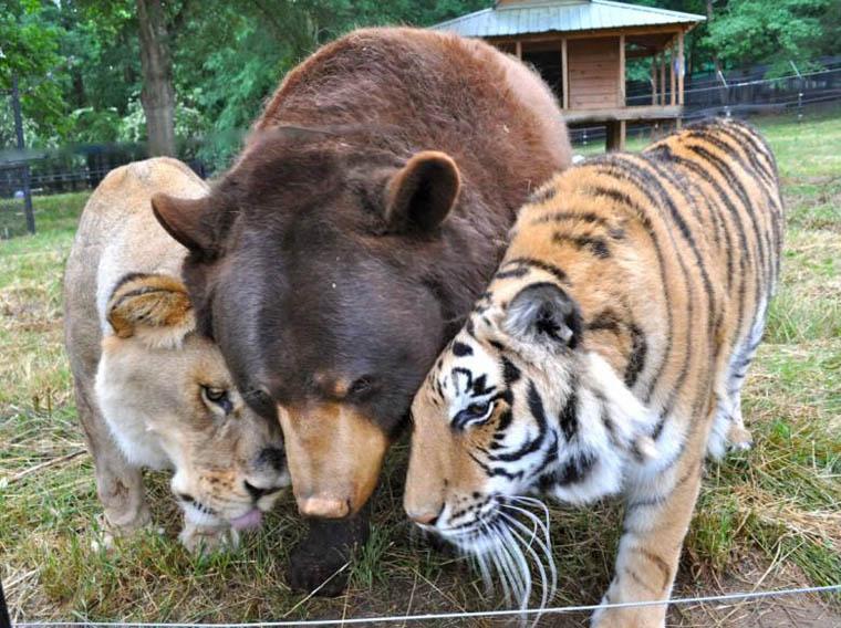 Lion, Bear, and Tiger at Noah's Ark