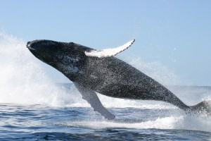 Humpback_whale_jumping[1]