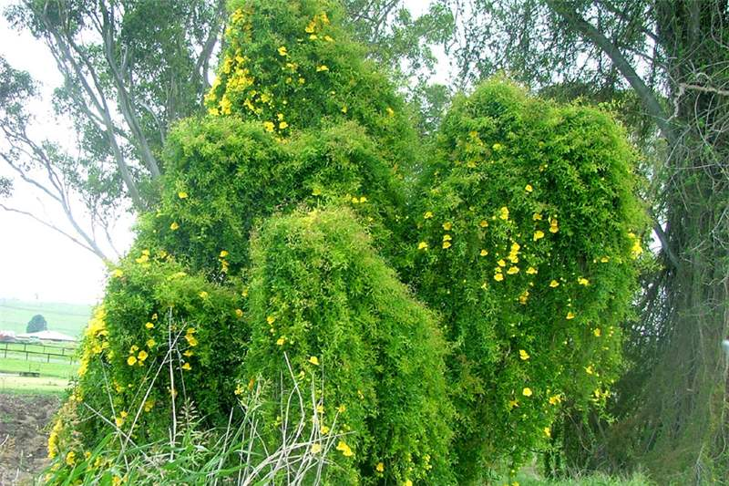 Cat's Claw Creeper