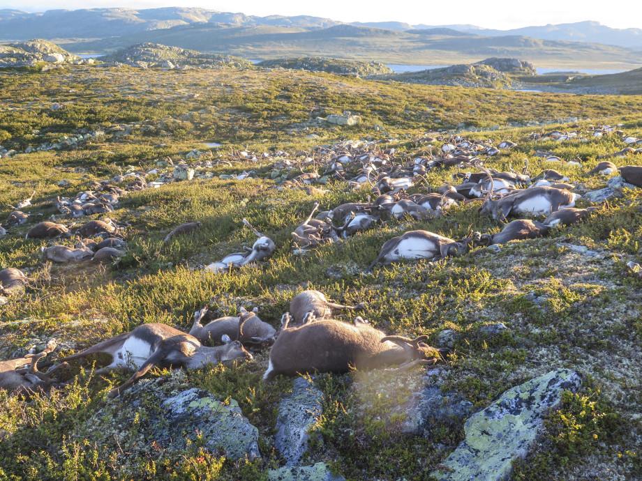 Reindeer Killed by Lightning Bolt