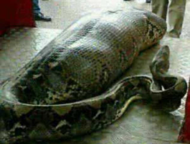 Snake Consumed Human