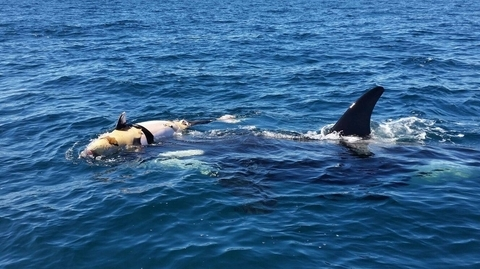 Orca Whale and Dead Calf