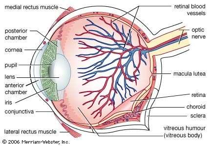 Nerve Endings for Eye
