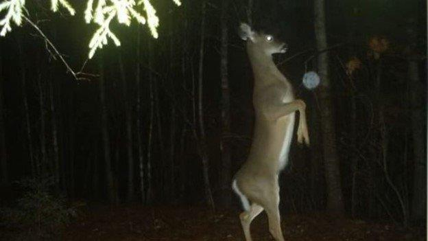 Deer Scared by Orb